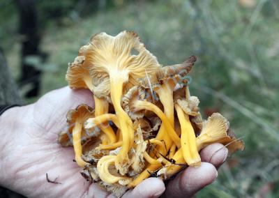 Poignée de chanterelles à odeur de mirabelle, délicieux champignons