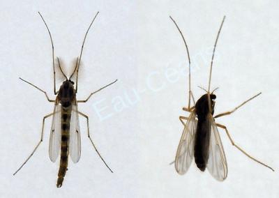 """Deux moustiques,  parmi les ennemis les plus """"intimes"""" de l'homme"""
