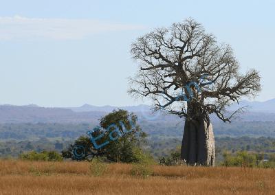 Paysage malgache typique avec le baobab, arbre séculaire