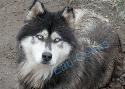Très bel exemplaire de Husky, chien de traineau, aux yeux d'un bleu ciel intense