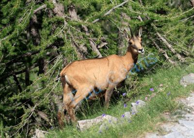 Le chamois vit en harde entre 200 et 3000 mètres d'altitude selon la saison