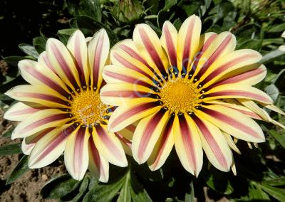 Le splendide Gazania est une fleur originaire d'Afrique du Sud