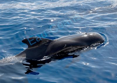 La baleine pilote ou globicéphale tropical