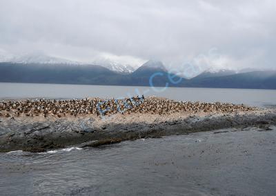 Otaries à crinière et cormorans impériaux sur un rocher dans le canal de Beagle