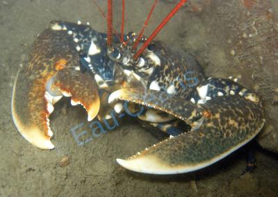 Le homard avec sa chair délicieuse est plus sympathique dans une assiette que rencontré au coin d'un rocher