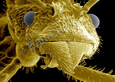 Portrait détaillé d'une fourmi vue au microscope électronique à balayage (photo. T. Berrod)