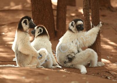 """Scène de famille chez les lémuriens """"Propithèque de Verreaux"""""""