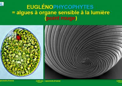 Euglénophycophytes