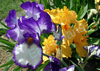 Les iris, symboles de majesté et de pouvoir pour les Egyptiens de l'antiquité
