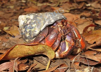 Notre ami le crabe l'ermite est terrestre, grimpeur et nocturne (photo. A.-M. Lejeune)