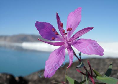 L'épilobe, fleur emblématique du Groenland