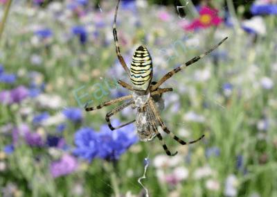 Magnifique (!) Argiope, araignée à l'abdomen cerclé de jaune et de noir