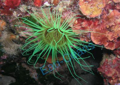 Cérianthe en train de pêcher des proies avec ses tentacules