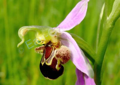 L'Ophrys bourdon, orchidée, symbole de beauté suprême