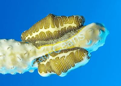 Des monnaies Caraïbes sinuées broutent les polypes d'une gorgone (photo. A.-M. Lejeune)