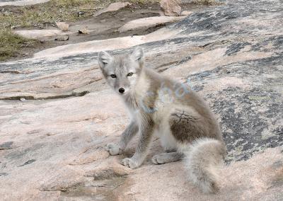 Jeune renard polaire avec sa livrée estivale