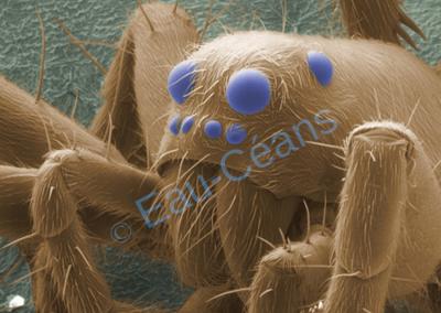 Détail au microscope électronique à balayage d'une tête d'araignée colorée artificiellement (photo. T. Berrod)