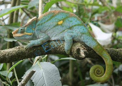 Caméléon avec sa tenue camouflée, dans la végétation