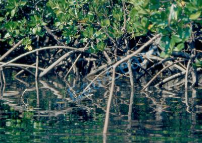 Entrelacs des racines et des pneumatophores des palétuviers de la mangrove