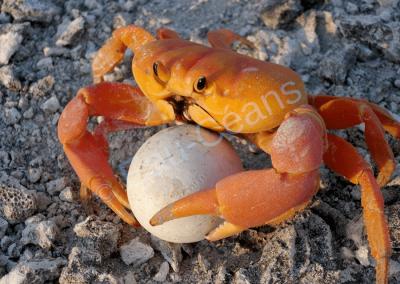 Le crabe terrestre, roi de Clipperton