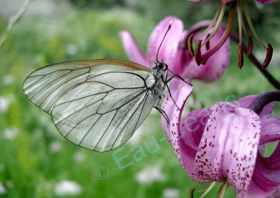 Le gazé, papillon de jour, butine un lys Martagon, plante devenue rare