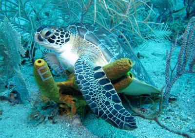 Une tortue verte se repose au milieu des éponges tubulaires jaune (photo. A.-M. Lejeune)