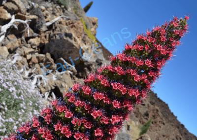 La vipérine de Tenerife (Echium), plante endémique