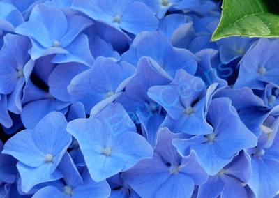 L'hortensia bleu, l'une des fleurs emblématiques du Finistère, est un régal pour les yeux