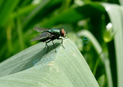 Bel exemplaire de Lucilia caesar, mouche verte dont l'alimentation repose essentiellement sur des excréments, des charognes et, occasionnellement, sur des fleurs