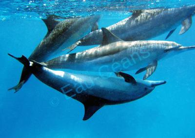 Séance de palmage au milieu d'une centaine de dauphins