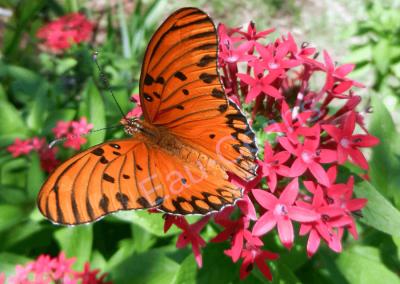 Splendide papillon de jour dans la forêt Atlantique