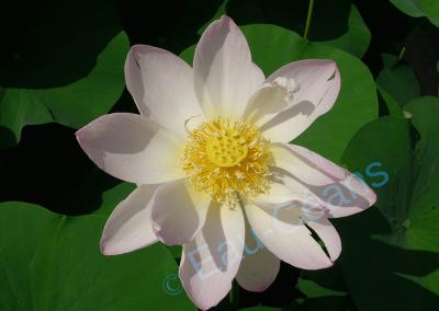 Le lotus, symbole de pureté du corps, de la parole et de l'esprit pour les bouddhistes