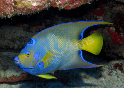 Un poisson-ange impérial est reconnaissable à sa couronne noire constellée de petits points bleu  et à la queue jaune (photo. A.-M. Lejeune)