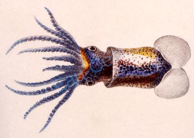 Dessin d'une sépiole (céphalopode) exécuté par Perron ou Lesueur au cours de l'expédition Baudin (début XIXème siècle)