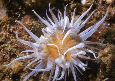 La marguerite de mer ancre ses panaches blancs dans les anfractuosités rocheuses