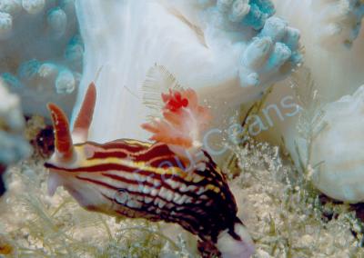 Nudibranche (= limace marine) bariolé serpentant entre des pieds de coraux mous bleu vert