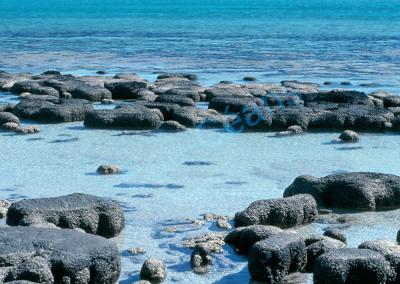 Champ de stromatolithes (constructions biologiques) en formation