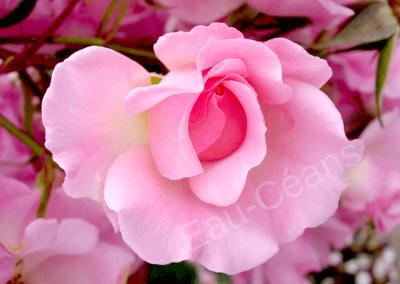 La rose, symbole d'amour, de beauté et de pureté
