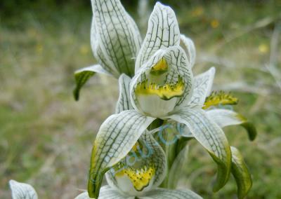 Fragile comme toutes les fleurs de son groupe, l'orchidée porcelaine est un patchwork de vert et de blanc