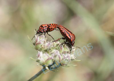 Accouplement de Graphosoma italicum (= punaise rouge à bandes noires)