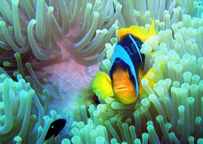 Le poisson clown se protège dans son anémone