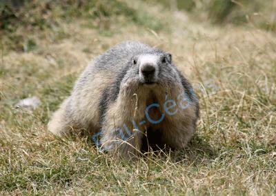 La marmotte vit en colonie sur les pelouses alpines entre 700 et 2800 mètres d'altitude
