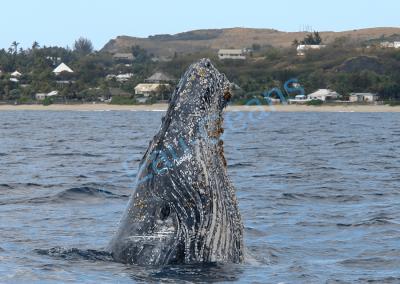 La baleine à bosse migre tous les ans dans les eaux chaudes tropicales pour la mise bas
