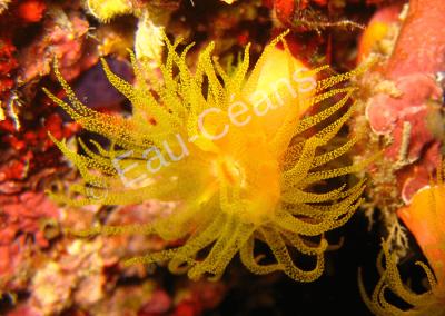Tentacules déployés d'un polype de corail (photo A.-M. Lejeune)