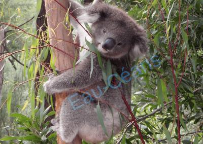 Koala en train de déguster des feuilles d'eucalyptus