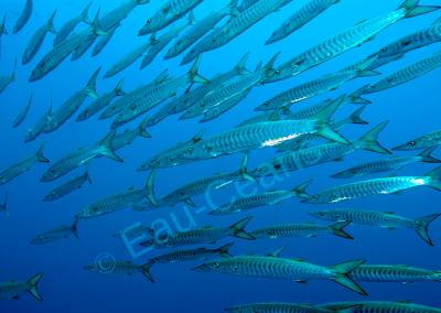 En mer Rouge, rencontre avec un banc de barracudas