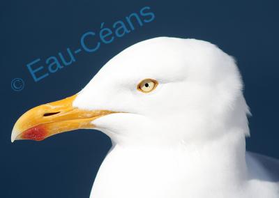 Le goéland, avec ses yeux perçants, guette la moindre nourriture disponible