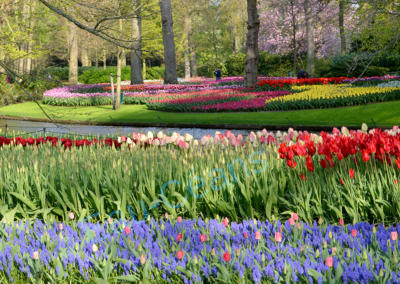 Keukenhof, beauté prodigieuse de ces fleurs aux mille couleurs