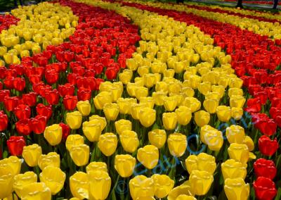 Keukenhof, parc floral unique de printemps