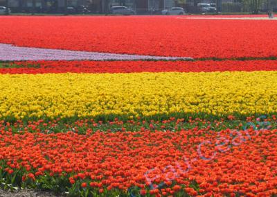 Hollande mi-avril, la tulipe est à son apogée, contemplation d'immenses patchworks multicolores